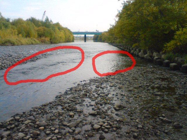 東橋上流、赤色で囲った部分にサケがいました!