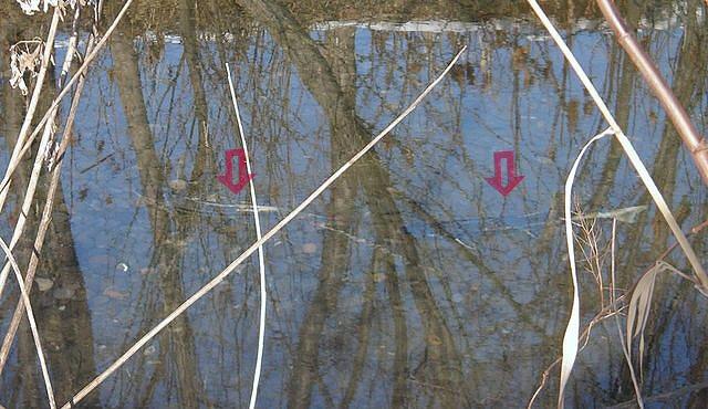 ゆるやかな流れで産卵するサケ(赤い矢印)