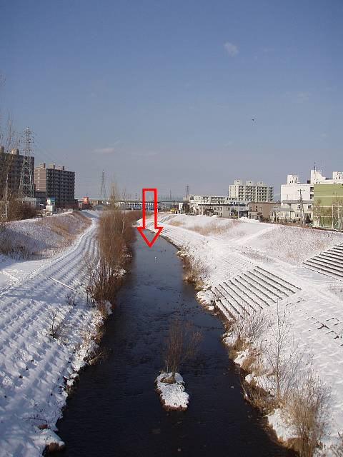 農試公園橋上から下流を見てます!赤矢印付近にたくさんのサケたちがいました!