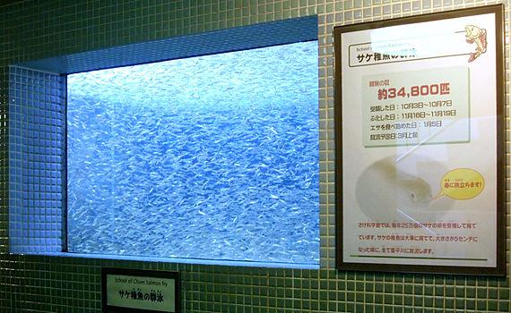 サケ稚魚群泳展示