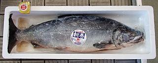 超巨大!新巻鮭