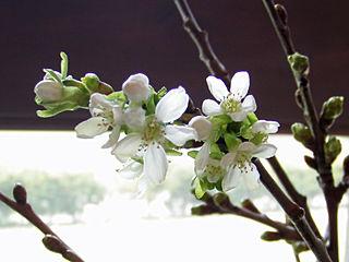 サクランボの花♪