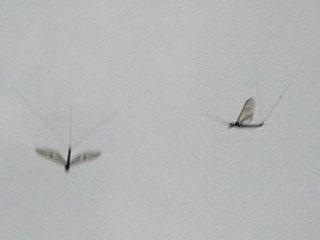 羽を広げて降下中