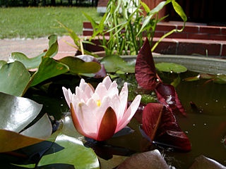 スイレンの花(奥の鉢はアギナシ)