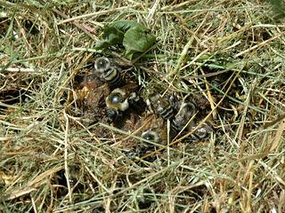 地中の蜂巣