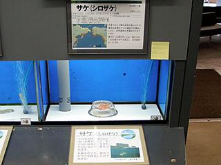 サケの卵展示