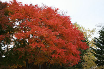 紅葉、始まる