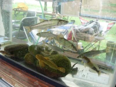 真駒内川のいきものの水槽展示