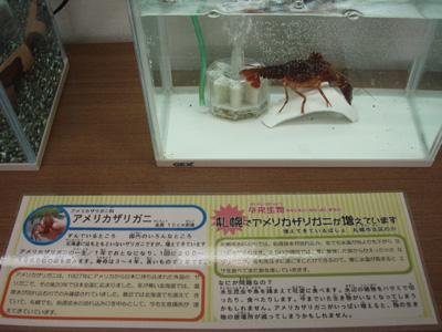アメリカザリガニの展示