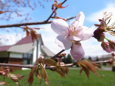 さけ科学館の桜2013