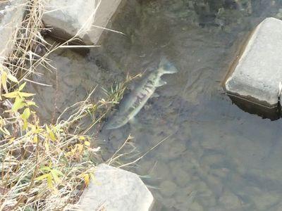 水穂大橋下流左岸で穴を掘るメスザケ
