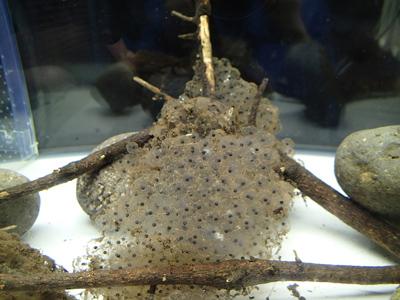 エゾアカガエルの卵展