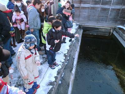 かんさつ池のサケ稚魚たちのエサやり