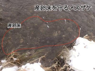 産卵床を守るメスザケ