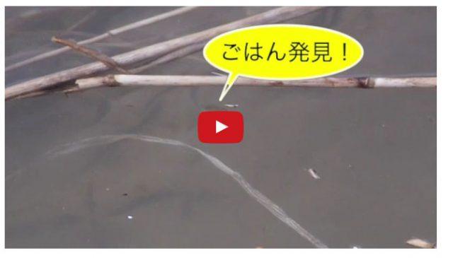 サケの動画