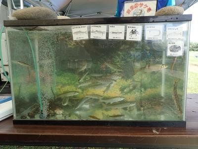 会場付近の川辺の魚たち