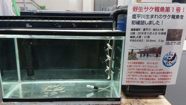 サケ稚魚第1号展示